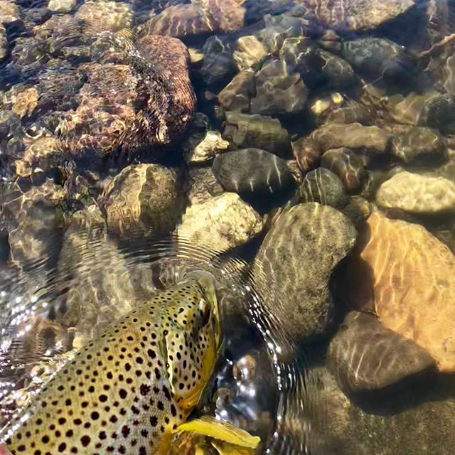 Another day, another trip to #browntown … Its pretty much my favorite place to play!#wildtrout #dryfly #butter #scottflyrods #galvanreels #easternsierras #catchandrelease #tahoetroutsyndicate @alpineflyfishing #gotime #costasunglasses