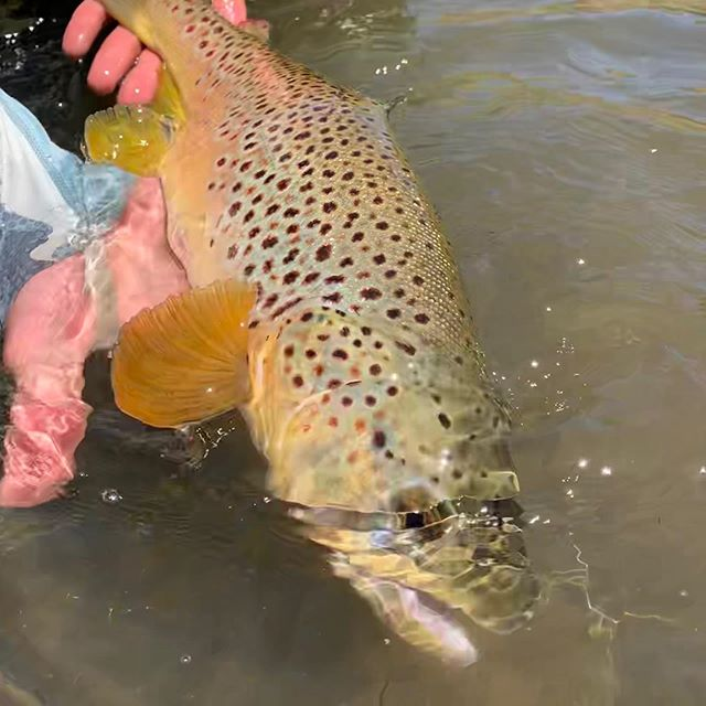 This guy has been staying healthy in #browntown during the quarantine… Come and get some !••••#alpineflyfishing #streamergame #scottflyrods #fishitwell #fishpondusa #covidcamping #elksteaks #ranchlife #catchandrelease #wildtrout #airflo #eastsideplayers #downanddirty #arrowheads